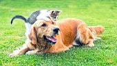 Domestic cat and dog in artificial grass lawn